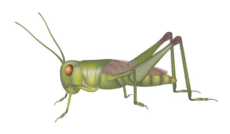 gräshoppa stock illustrationer