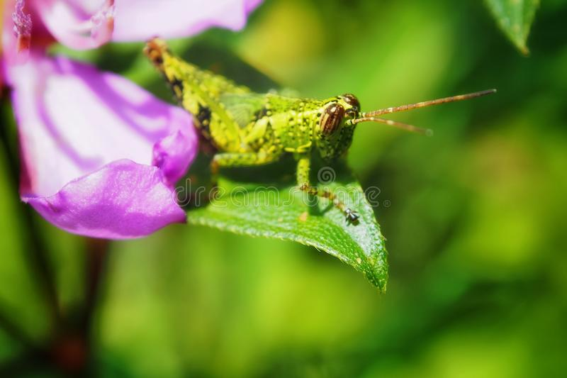 gräshoppa & blad arkivfoton