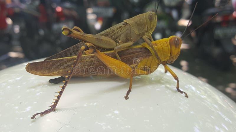 gräshoppa för två kryp royaltyfri fotografi
