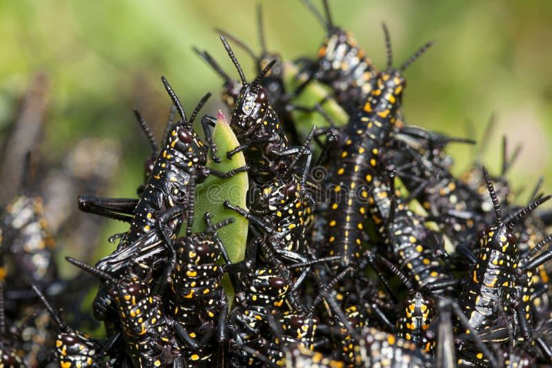 Gräshoppa, i att äta för svärm arkivbilder