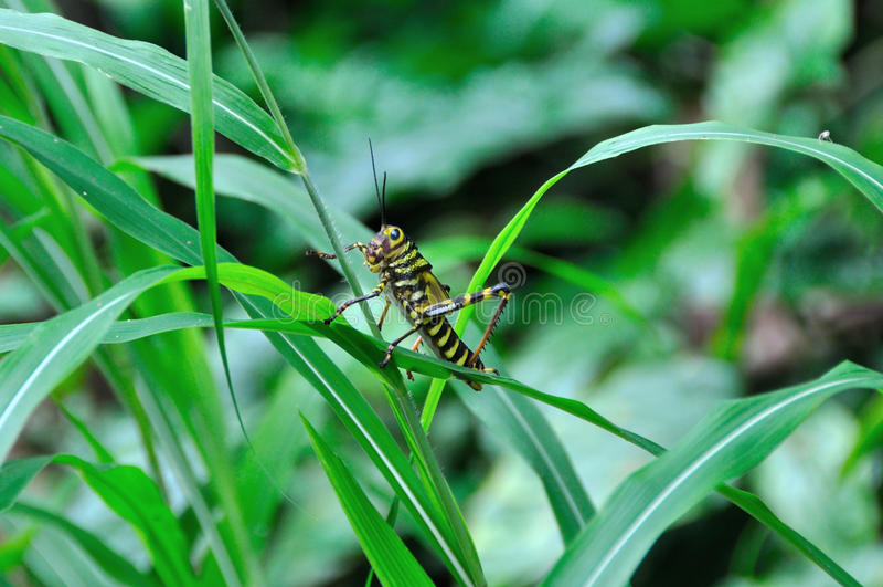 Gräshoppa i Costa Rica arkivbilder