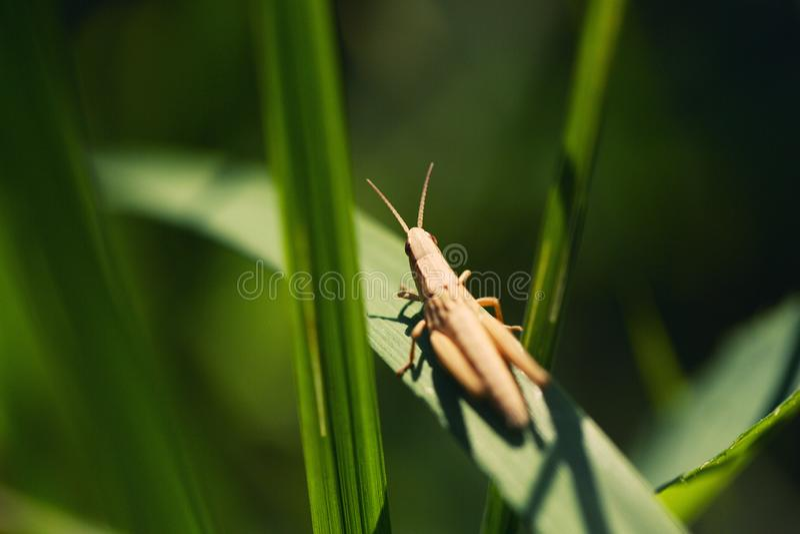 Gräshoppa i solsammanträdet på ett grässtrå fotografering för bildbyråer
