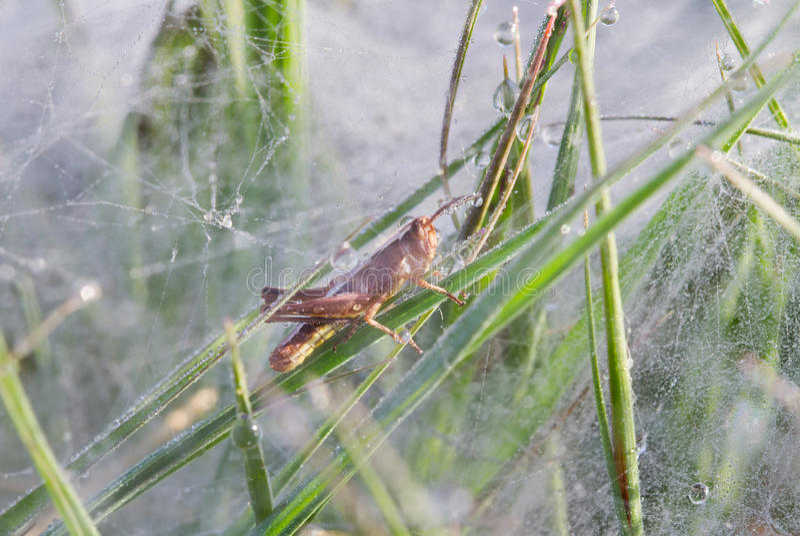 Gräshoppa i spindelrengöringsduk arkivbild
