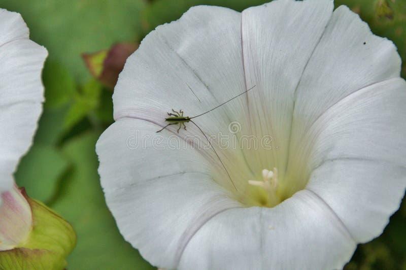 gräshoppa little arkivfoton