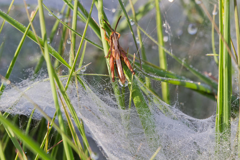 Gräshoppa ovanför spindelrengöringsduk royaltyfria foton