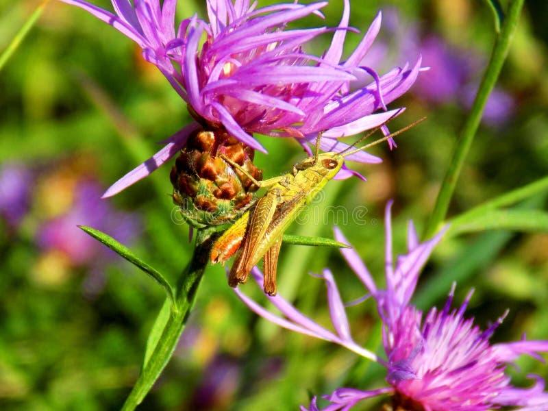Gräshoppa på ängblomman royaltyfria foton