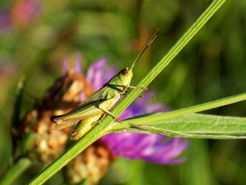 Gräshoppa på ängväxten arkivfoto