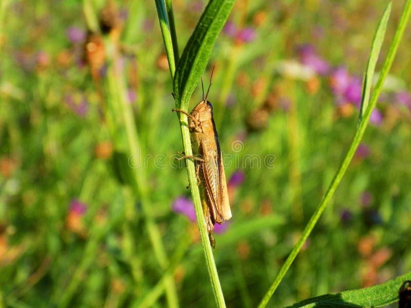 Gräshoppa på ängväxten royaltyfri foto