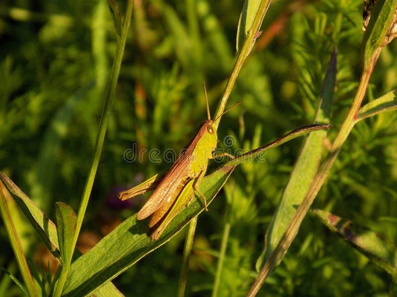 Gräshoppa på ängväxten royaltyfria foton