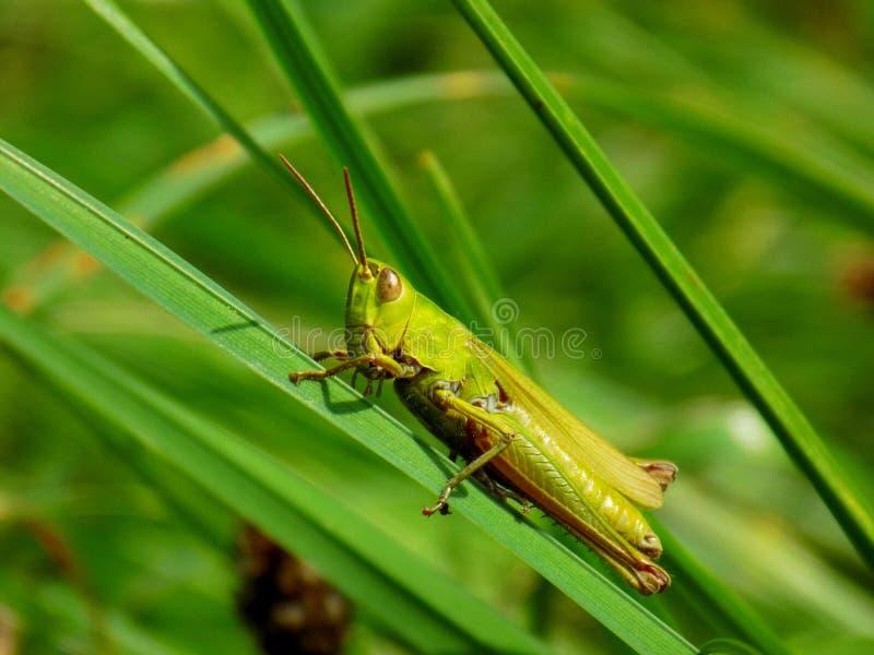 Gräshoppa på ängväxten i lös natur fotografering för bildbyråer