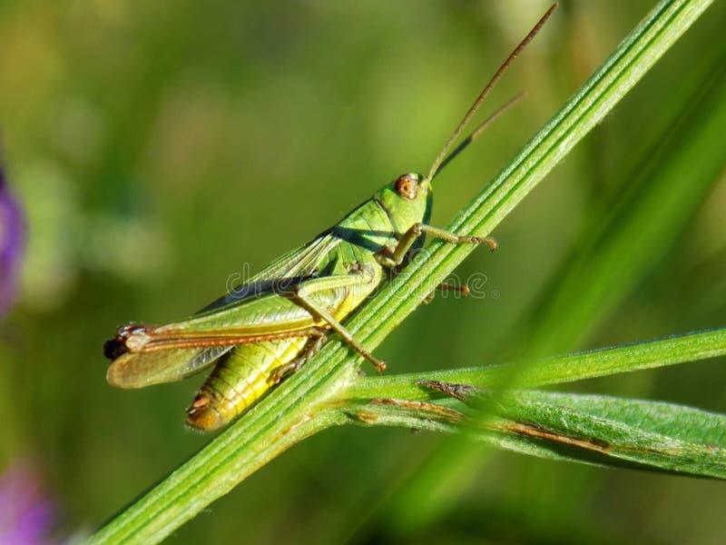 Gräshoppa på ängväxten i lös natur royaltyfri fotografi