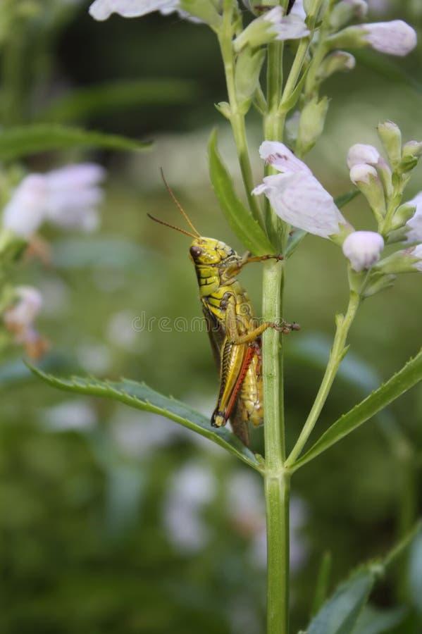 Gräshoppa på den lydiga växten arkivbild
