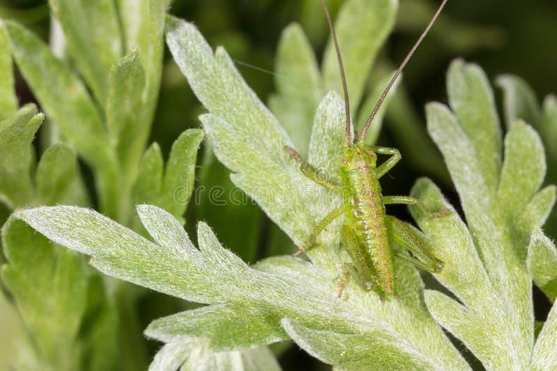 Gräshoppa på en grön växt i natur arkivfoton