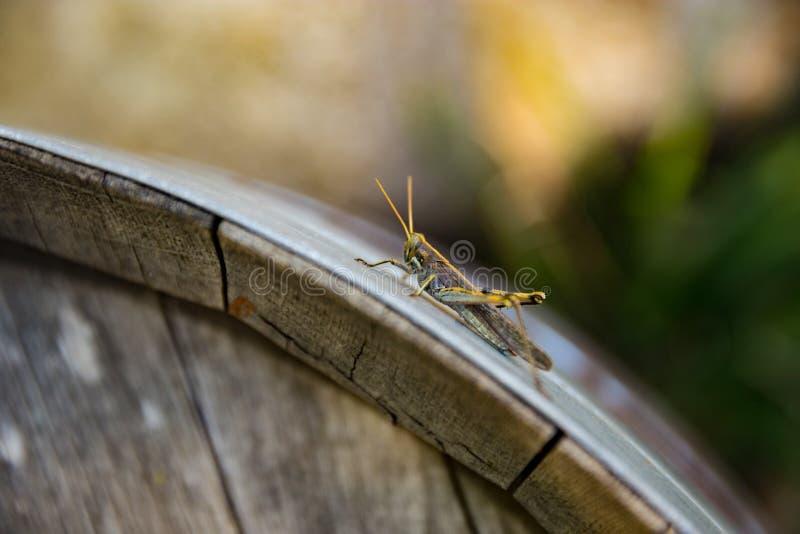 Gräshoppa på en trumma royaltyfria bilder