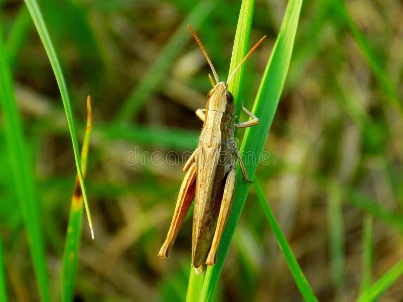 Gräshoppa på gräsbladet arkivbild