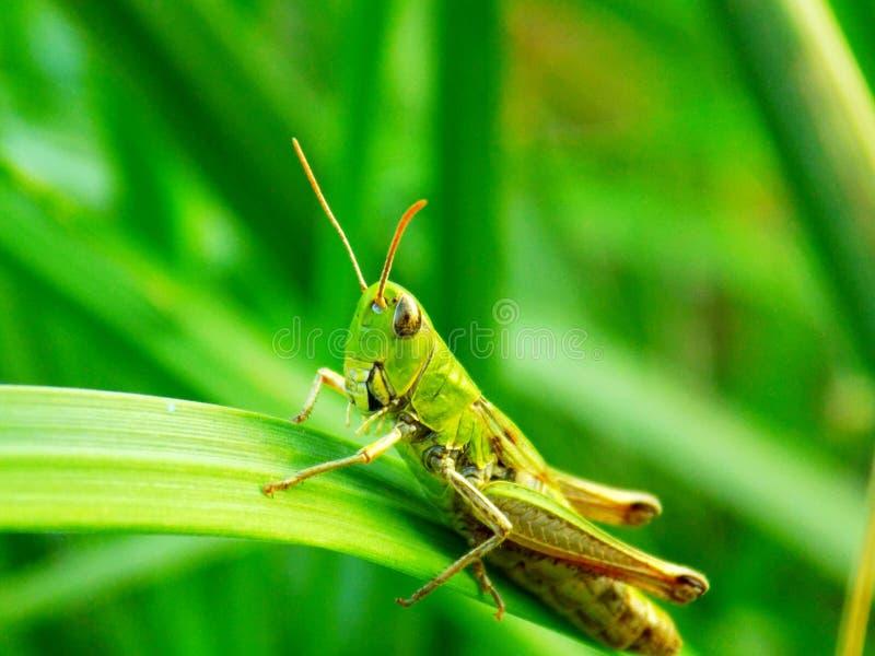 Gräshoppa på gräsbladet royaltyfria foton