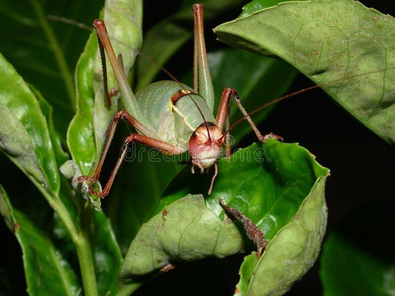 Gräshoppa på leafen fotografering för bildbyråer