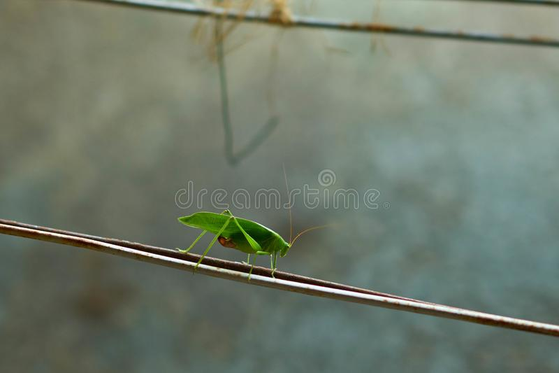 Gräshoppa på suddighetsbakgrund royaltyfri bild