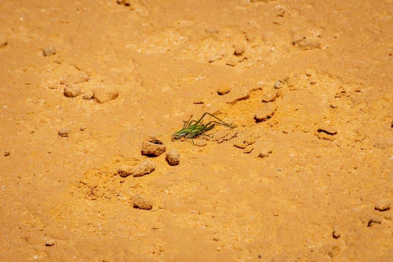 Gräshoppa som sitter på den varma solen i höjdpunktefterrätten i Australien arkivfoton