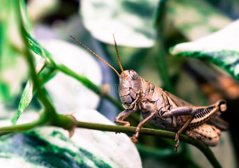 Gräshoppa som sitter på en Ivy Stem arkivfoto