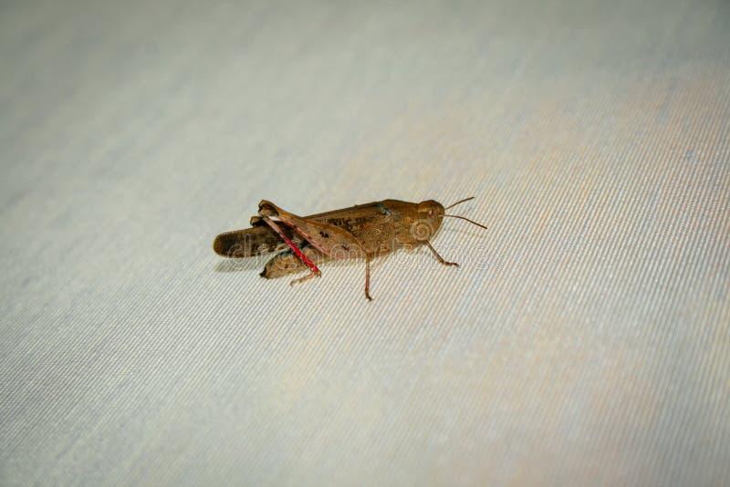 Gräshoppa som vilar på den ojämna torkduken, makrofotografi arkivbilder