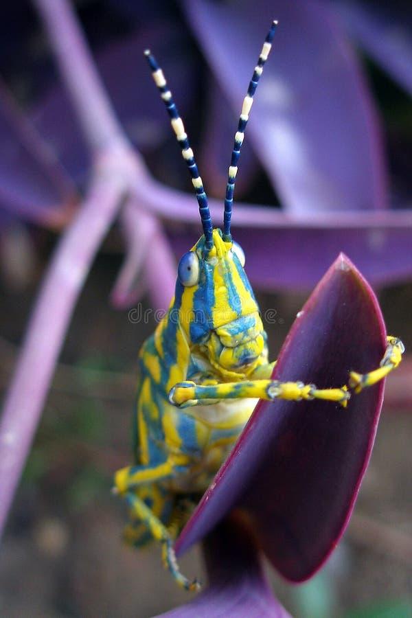gräshoppa vii fotografering för bildbyråer