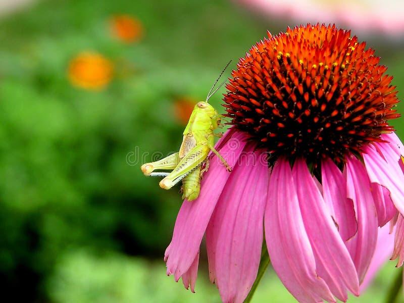 gräshoppabarn royaltyfri foto