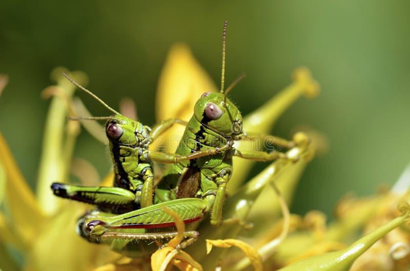 gräshoppaihopparning royaltyfria foton