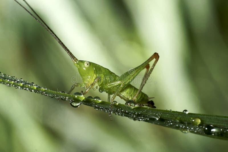 Gräshoppan sitter på ett grässtrå royaltyfria bilder