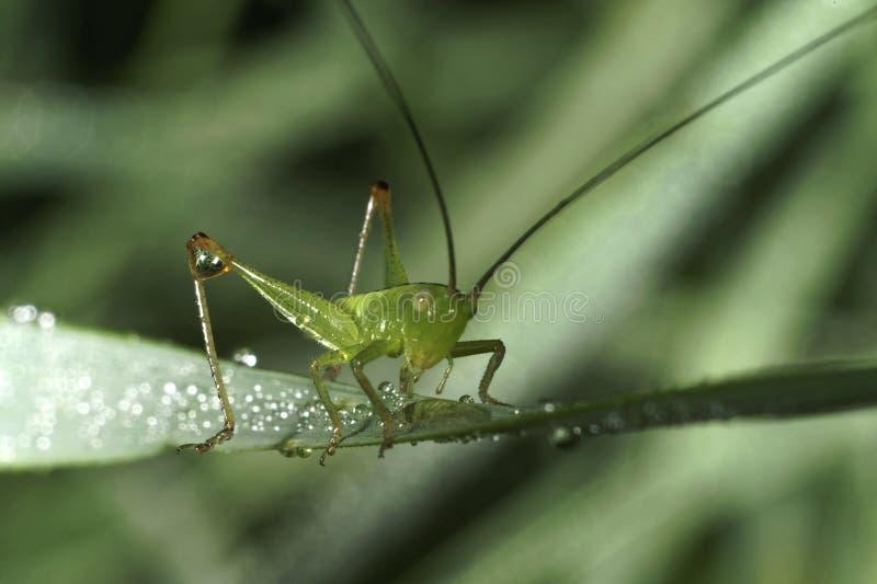 Gräshoppan sitter på ett grässtrå royaltyfria foton