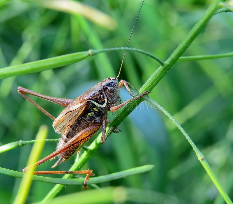 Gräshoppanederlag i gräset Maskera - 100% Kapabelt av att bilda stora hundramiljontals individer för flockar upp till royaltyfria bilder