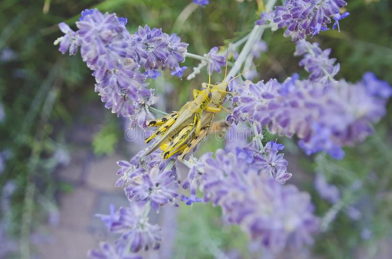 Gräshopparyggsäck i de purpurfärgade blommorna arkivbild