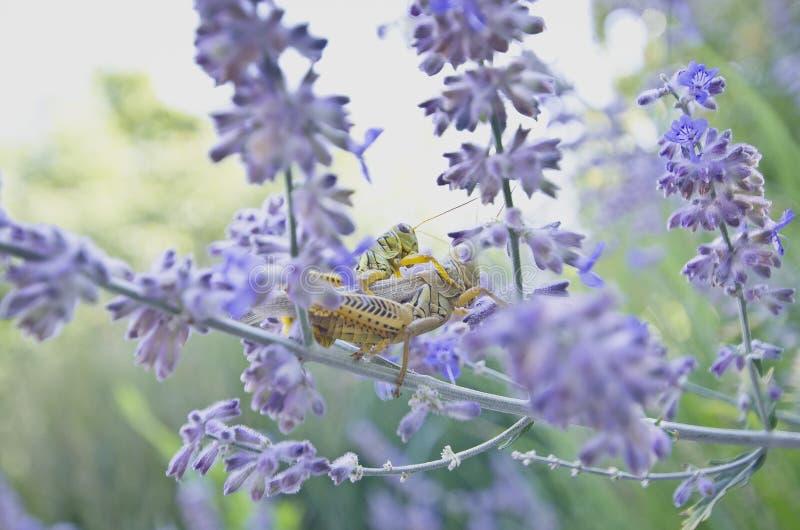 Gräshoppor i de purpurfärgade blommorna royaltyfria foton