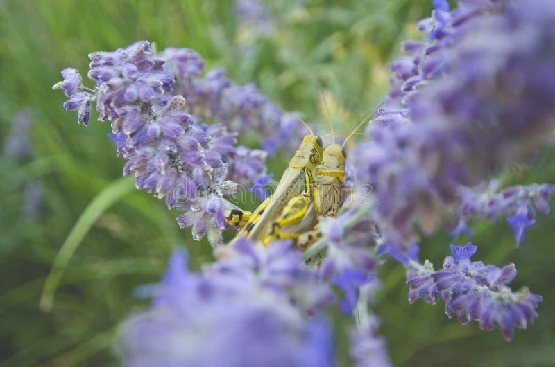 Gräshoppor som döljer i blommorna royaltyfri bild