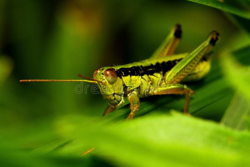 Gräshopporna arkivfoto