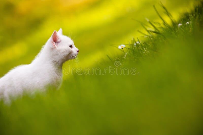 gräskattungewhite fotografering för bildbyråer