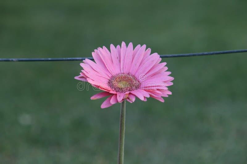 Gräsmatta för gräsplan för Gerberablommarosa färger arkivfoton