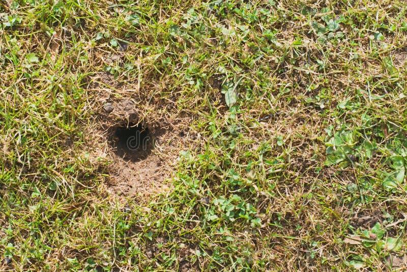 Gräsmatta för mus- eller volehål på våren, gräsmattaodlingproblem arkivbild