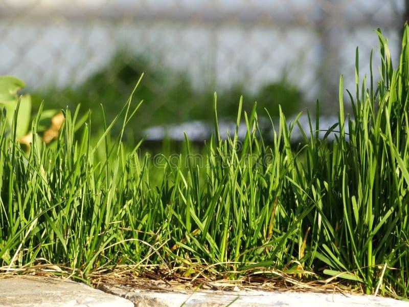 Gräsmattagräs royaltyfri foto