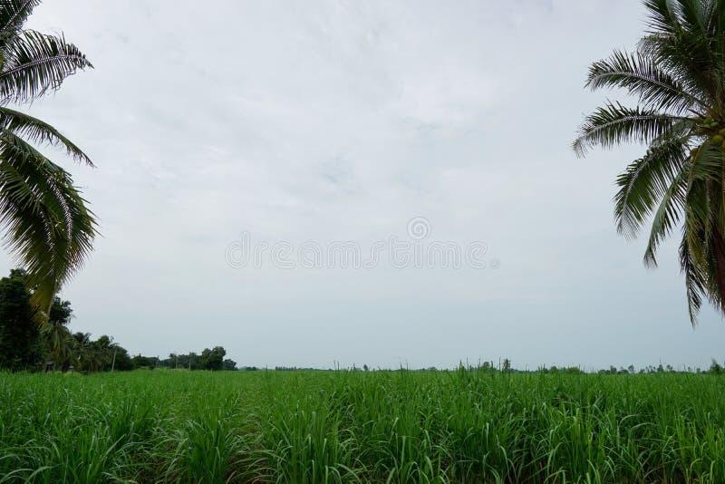 Gräsplan av havrelantgården med blå himmel och moln i morgonen på Thailand, arkivbilder