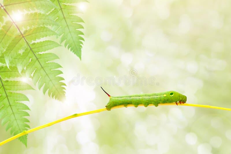 Gräsplan avmaskar på växtpinnen på naturbakgrund, med urklippet royaltyfria foton