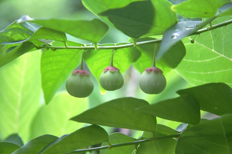 Gräsplan bär frukt Thailand arkivbilder