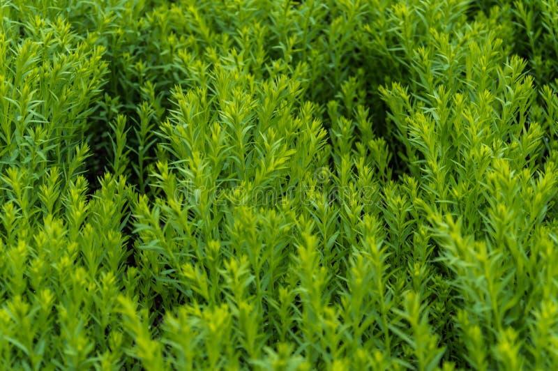 Gräsplan för linfält totalt royaltyfria bilder