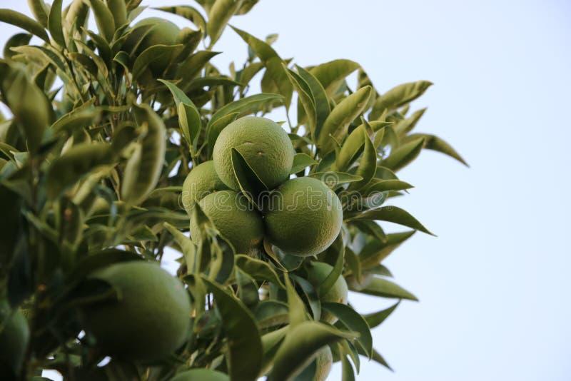 Gräsplan förgrena sig limefrukt med frukter royaltyfria foton