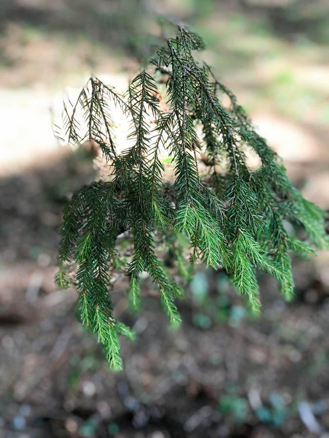 Gräsplan försåg med en hulling den naturliga nya filialen av ett prydligt sörjer trädet i en barrskog arkivfoto
