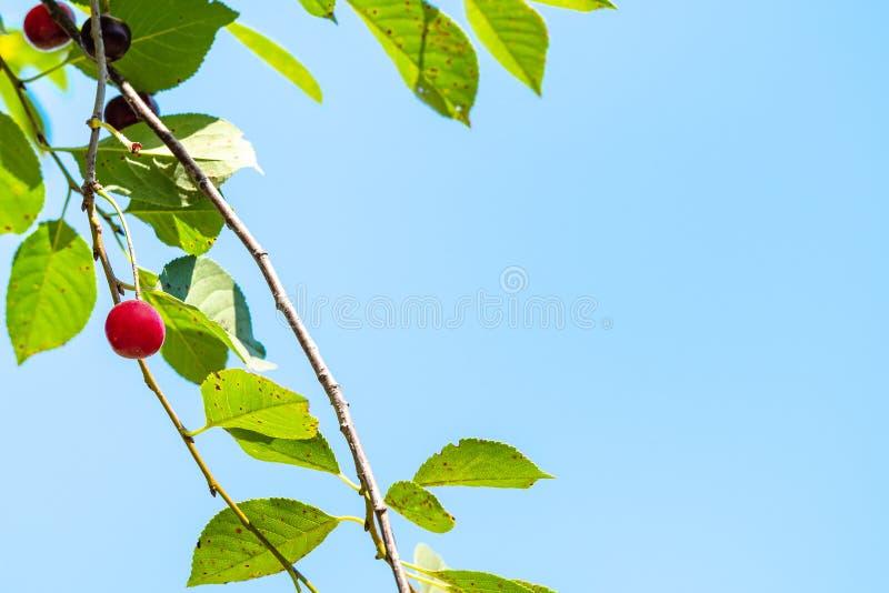 gräsplan fattar av körsbärsrött träd och blå himmel arkivfoto