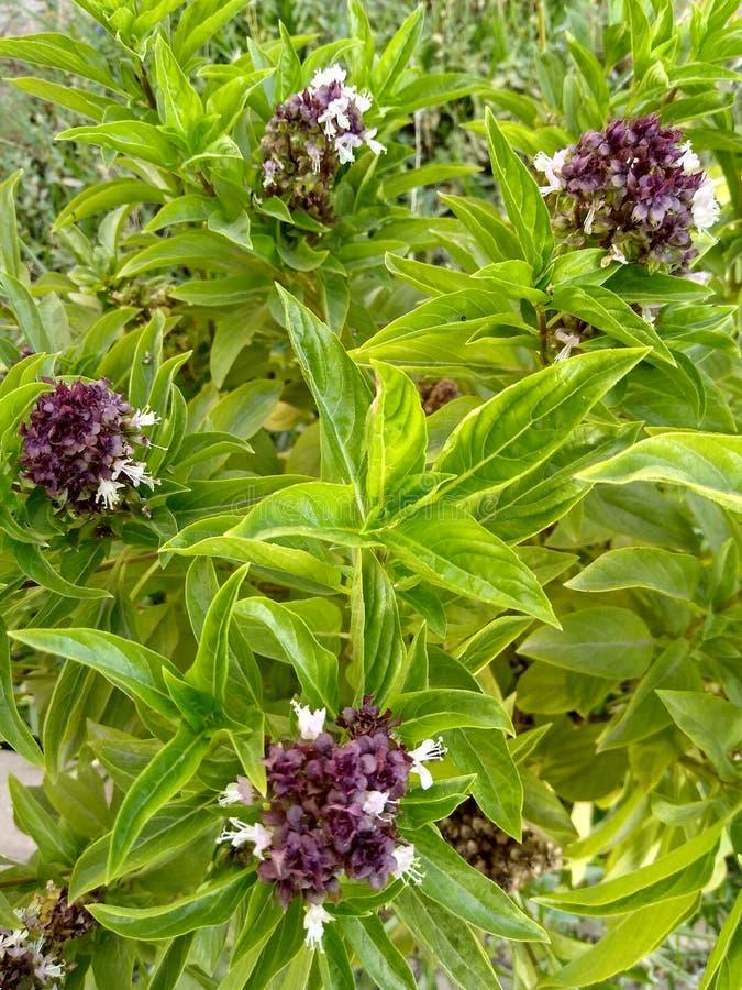 gräsplan med den purpurfärgade blomman i trädgården 2 arkivfoto