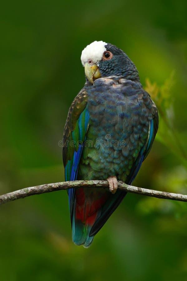 Gräsplan och grå färger mekaniskt säga efter, Vit-krönat Pionus, denkorkade papegojan, Pionus senilis, i Costa Rica Lave på träde arkivfoto