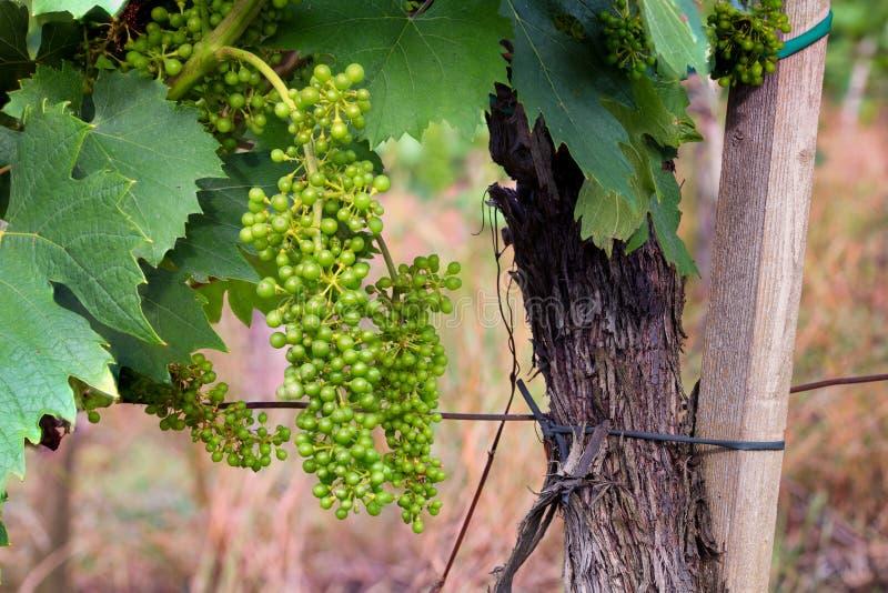 Gräsplan omogna unga vindruvor i vingården, försommar, närbild arkivbild
