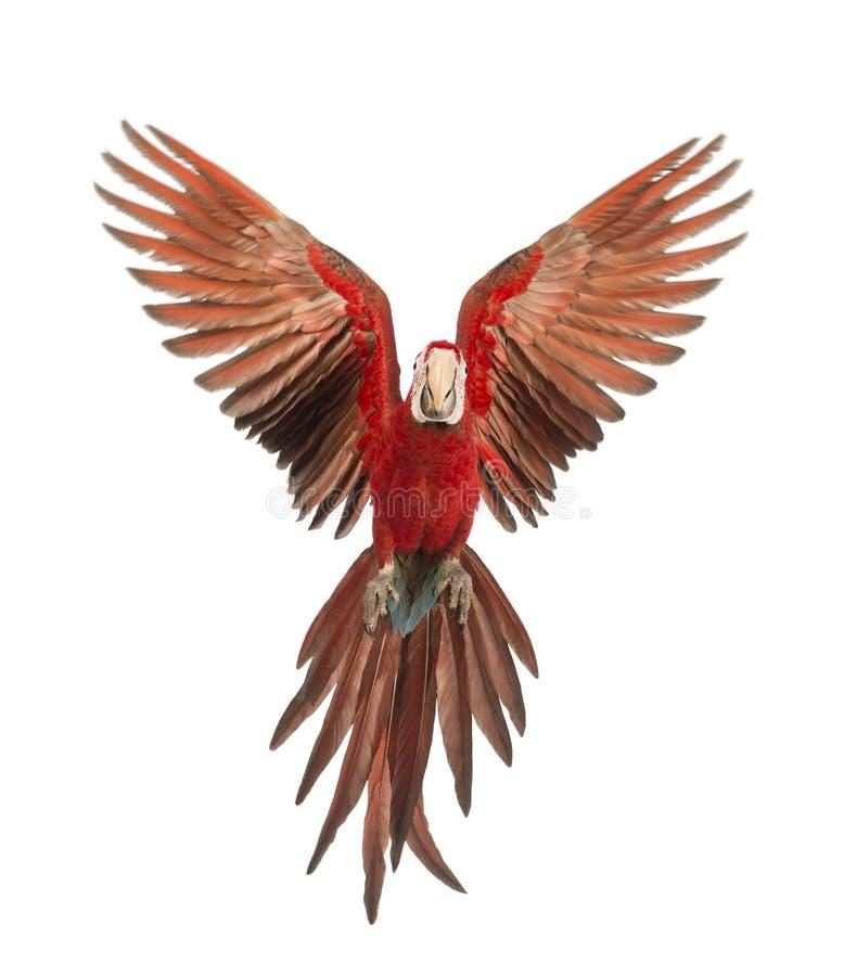 Gräsplan-påskyndad Macaw, Arachloropterus, årig som 1 flyger fotografering för bildbyråer